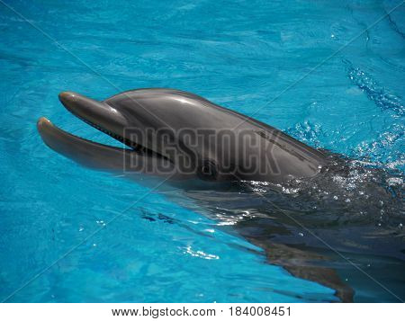 Bottle nose dolphin, close up A bottle nosed dolphin swimming
