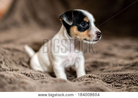 Jack Russell puppy sits on brown blanket and looks around.
