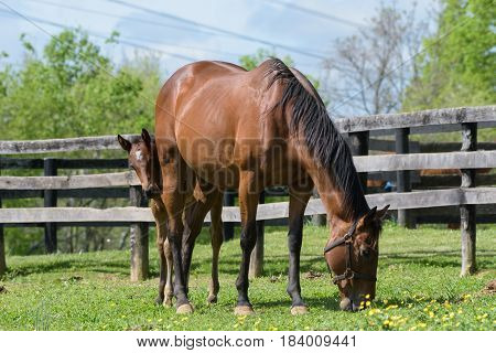 Thoroughbred horses in a Kentucky bluegrass field.