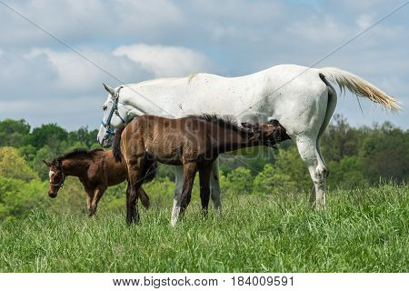 Thoroughbred horse breeding season. A nursing foal standing in a field of Kentucky Bluegrass