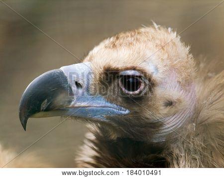 Head of black vulture - Aegypius monachus