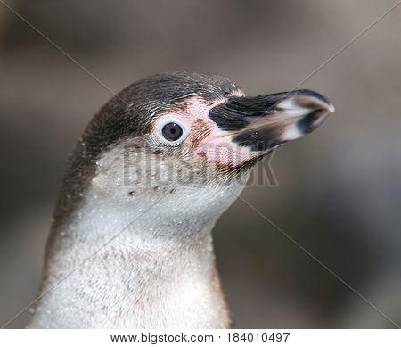 Portrait of Humboldt penguin - Spheniscus Humboldti