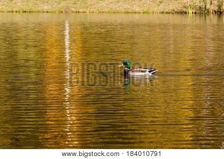 Drake sails on the autumn lake close up
