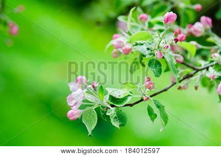 A branch of blossoming Apple trees in springtime green background