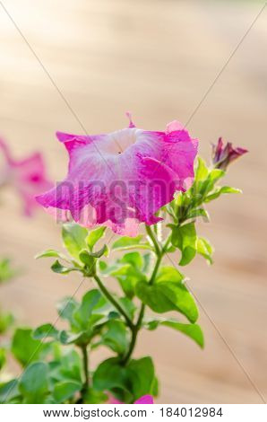 Flowering pink petunia in the garden on the terrace