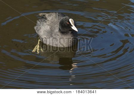 Eurasian Coot (Fulica atra) swimming in water of a Town Canal with Reflections