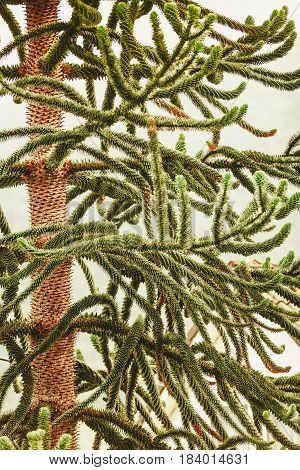Detailed Closeup Of Conifer Green Tree