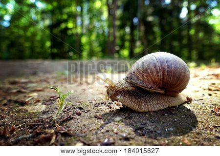 Animal close-up photography. Giant snail crawls along the ground.
