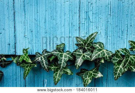 Ivy leaves growing across blue rustic outside wall.  Natural background or backdrop setting.