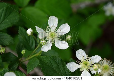 Blackberry bush flower bloom burst of white