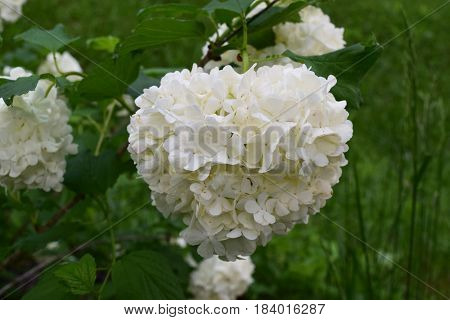 Giant snowball bush flower bloom in a garden