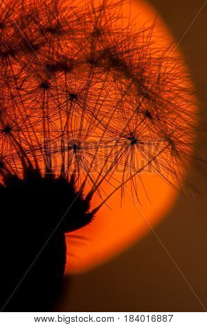Extreme close-up image of dandelion with sun in background