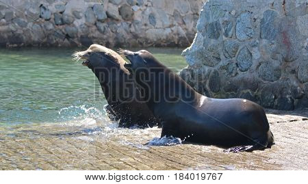 Male California Sea Lions fighting on the marina boat launch in Cabo San Lucas Baja Mexico - note bristling whiskers