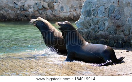 Dominant Male California Sea Lion chasing the loser away after fighting on the marina boat launch in Cabo San Lucas Baja Mexico BCS MEX