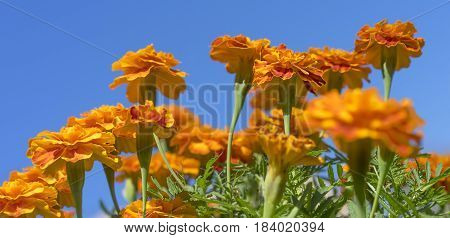 Bright golden colorful French marigolds with green foliage against blue sky Autumn panorama