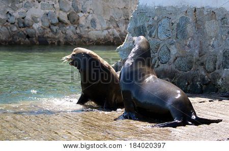 Dominant Male California Sea Lions fighting on the marina boat launch in Cabo San Lucas Baja Mexico BCS MEX