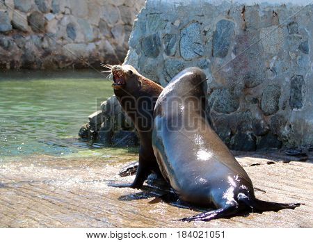 Male California Sea Lions fighting and biting each other on the marina boat launch in Cabo San Lucas Baja Mexico BCS MEX