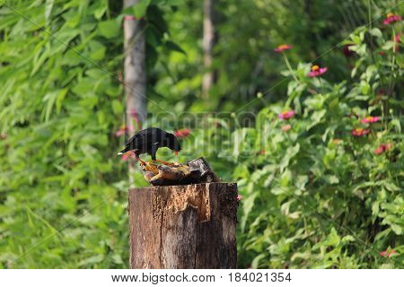 common myna or acridotheres tristis bird eating fruit or banana ripe