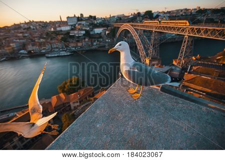 Seagull sits, background of Douro river and Dom Luis I Bridge, Porto, Portugal.