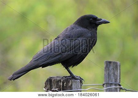 Black Bird sits on a fence post.