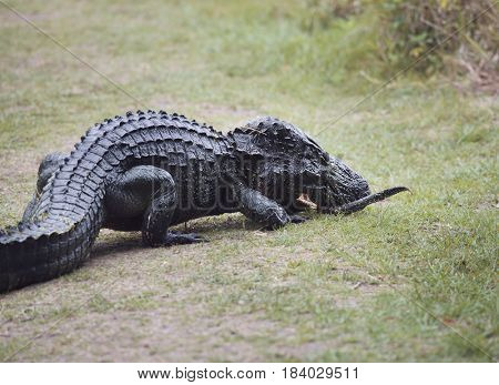 alligator female picks up her baby to bring it to the water