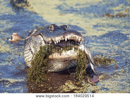 alligator eating a large fish in a swamp