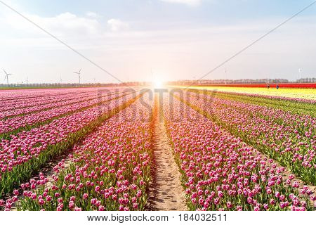 Sunset Above The Field Of Tulips