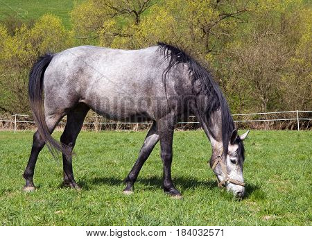 Young white sport mare on spring medow