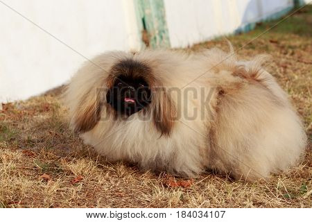 dog breed Pekingese on a dry grass