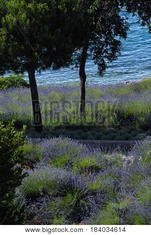 Fragrant lavender in blossom under the trees