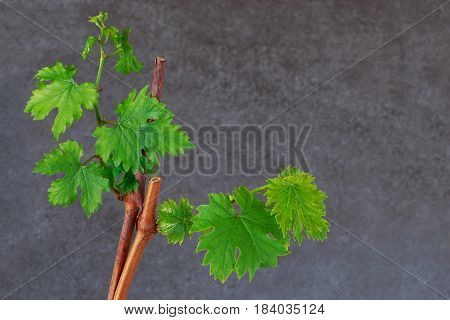 young sprout of grapes on a grey background