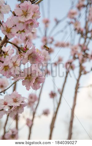 Beautiful photo of blooming almond trees in spring.