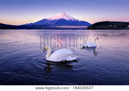 Two Swans swimming with Beni Fuji Mountain Background in Yamanaka Lake, Japan