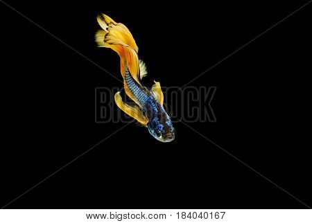 Betta Fish, Siamese Fighting Fish, Aquarium Fish