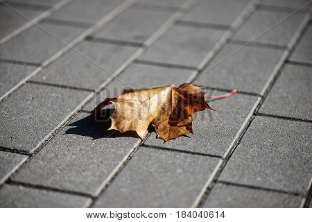 Close-up photography. Lonely maple leaf on the sidewalk.