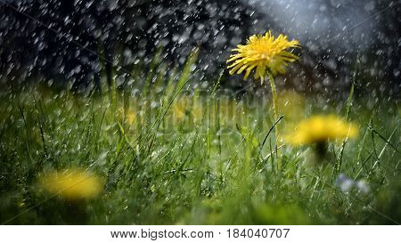 Abstract photography - a meadow on a rainy day. Yellow dandelions covered with rain drops.