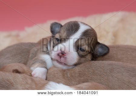 Newborn Chihuahua Puppy Sleeping Together In The Basket