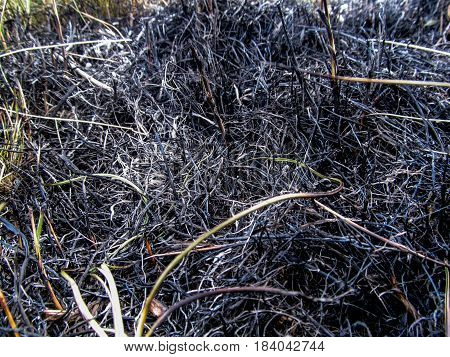 Background of the Black scorched grass close-up. Lone green grass between the ashes from the burned grass top view