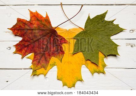 Three Maple Leaves In Different Colors Isolated On White Background