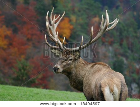 majestic deer on autumn background