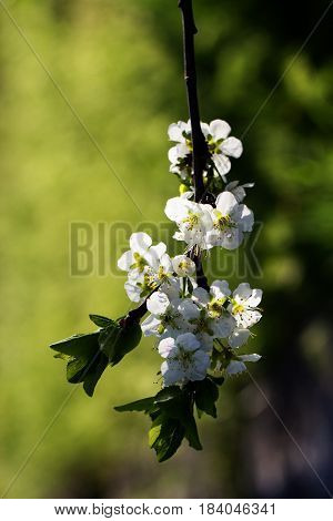 Flowers of the young pear tree blossoms on a spring day. White flower blossoms on a hood pear tree