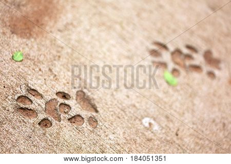In South Africa  Dirty Footprint Of Wild Animal