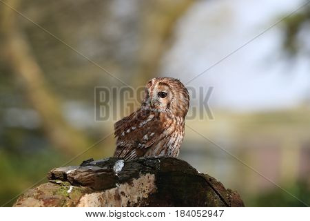 Portrait of a Tawny Owl perched on a tree stump in woodland