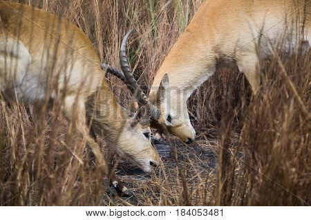 Two Antelopes Locking Horns in the Grasslands