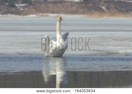 Graceful Swans On The River In Early Spring