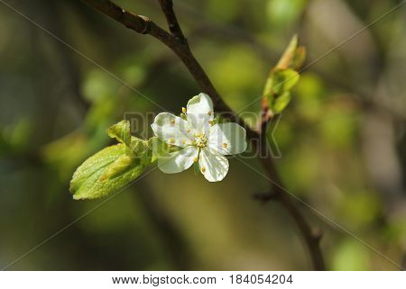 close photo of a twig of plum tree with beautiful fragile white blossom