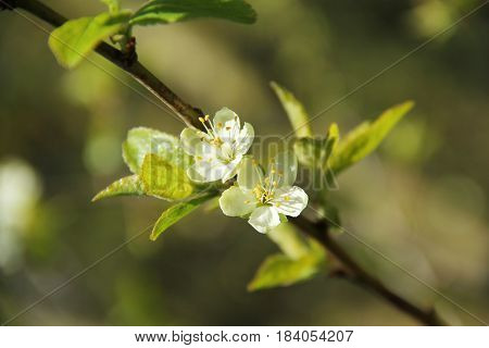 twig of plum tree with two beautiful fragile white blossoms