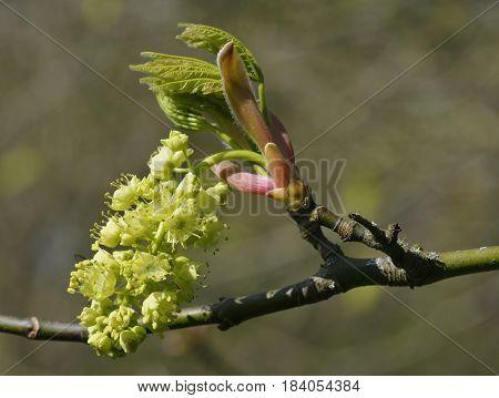 Oregon Or Bigleaf Maple
