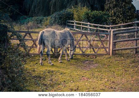 Horse  grazing by a fence in The New Forest, Hampshire, K