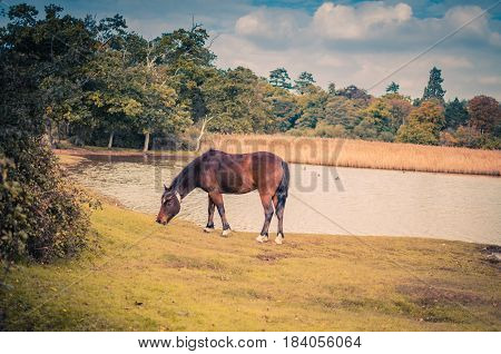 Horse grazing near a lake in the New Forest, Hampshire, UK